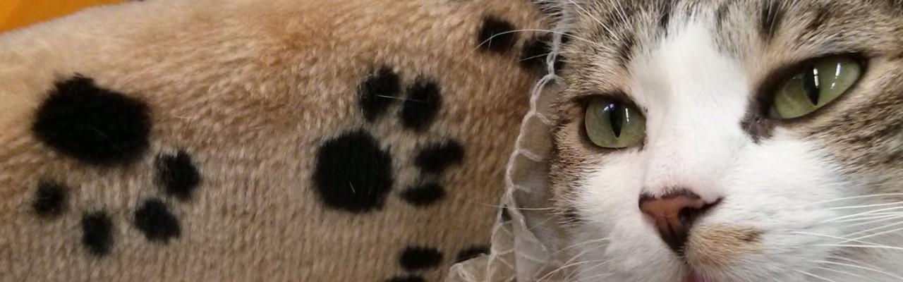 micio gatto sirio